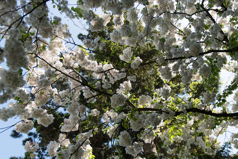 Les arbres japonais